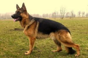 Немецкая овчарка - красота, гармония и надежность