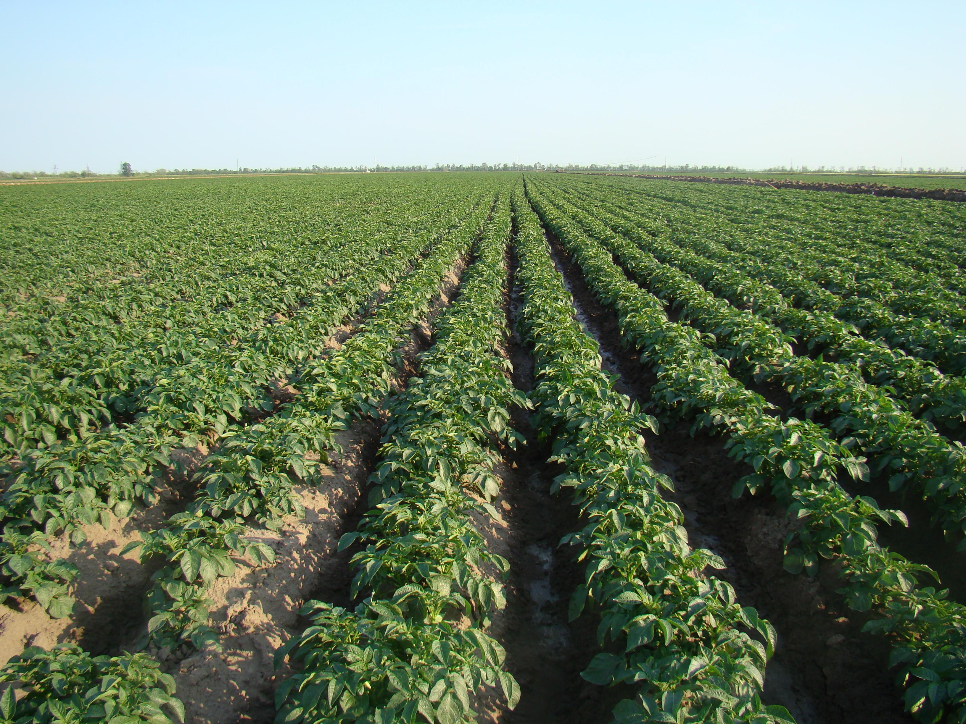 Бизнес по выращиванию картофеля