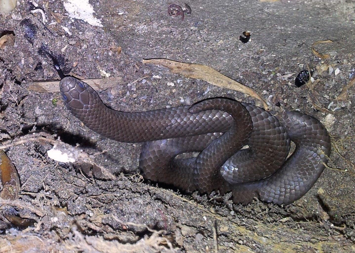 Улиткоедные змеи (Pareas, Aplopeltura и другие)