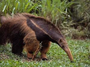 Муравьед. Животные Южной Америки