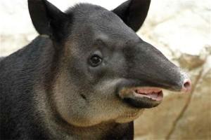 Тапир. Животные Южной Америки
