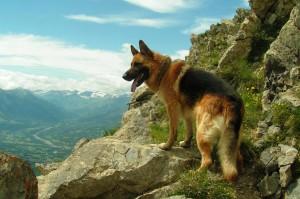 Сторожевые породы собак на службе ЧОП