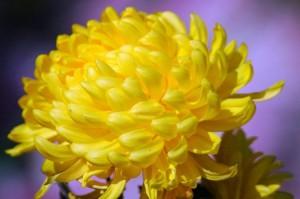 Как разводят хризантемы