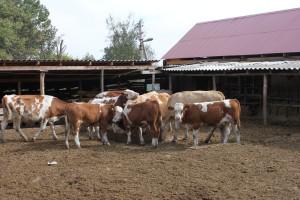 Строительство сарая для коров