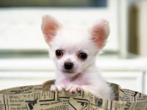 Выбор модной мини-собачки