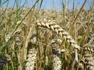 Зерновые растения