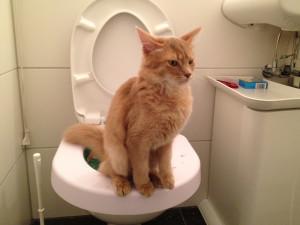 5 возможных причин частого мочеиспускания у кошек