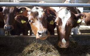Как заработать на покупке молока у фермеров
