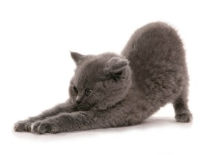 Британские коты — идеальные питомцы вашей квартиры
