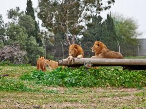 Зоопарк Сафари (Рамат-Ган)