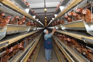 Борьба с условно-патогенной флорой на фермерском птичнике