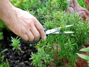 Розмарин, выращивание