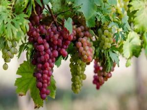 Всесторонняя польза винограда