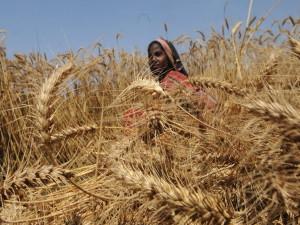 Зерновые культуры в Центральноафриканской Республике