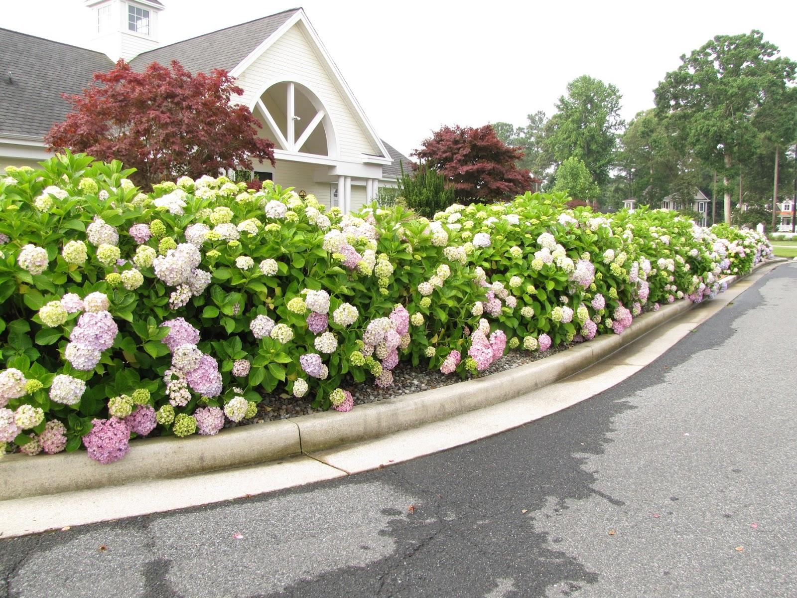 живая изгородь из цветов на даче