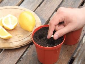 Как из семечка вырастить лимон