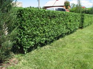 Живая изгородь вместо забора в вашем саду
