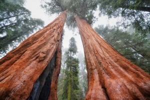 Дар природы человеку: качества древесины из секвойи